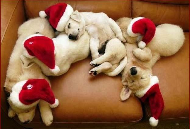 Image de Noël: Chiens Noël